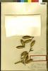 Agave indagatorum Trel., Bahamas, N. L. Britton 6155, Isotype, F