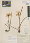 Image of Zephyranthes insularum