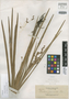 Cladium juncoides Elmer, PHILIPPINES, A. D. E. Elmer 12150, Isotype, F