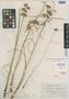 Cyperus oxylepsis Nees, BRITISH GUIANA [Guyana], G. S. Jerman 4465, Possible type, F