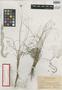 Dichromena inaguensis Britton, Bahamas, G. V. Nash 1254, Isotype, F