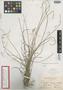 Fimbristylis inaguensis Britton, BAHAMAS, G. V. Nash 1019, Isotype, F