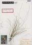 Rhynchospora bahamensis Britton, BAHAMAS, N. L. Britton 588, Isotype, F