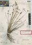 Stenophyllus wilsonii Britton, BAHAMAS, P. Wilson 7789, Isotype, F