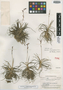 Trilepis kanukuensis Gilly, BRITISH GUIANA [Guyana], A. C. Smith 3643, Isotype, F