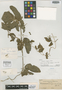 Dioscorea cruzensis image