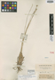 Eriocaulon brevifolium Klotzsch ex Körn., BRITISH GUIANA [Guyana], Schomburgk 107, Isotype, F