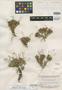 Syngonanthus savannarum Moldenke, BRITISH GUIANA [Guyana], B. Maguire 23280, Isotype, F