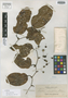 Smilax reticulata Elmer, PHILIPPINES, A. D. E. Elmer 13684, Isotype, F