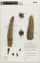 Corryocactus aureus (Meyen) Hutchison, Peru, J. C. Solomon 2833, F