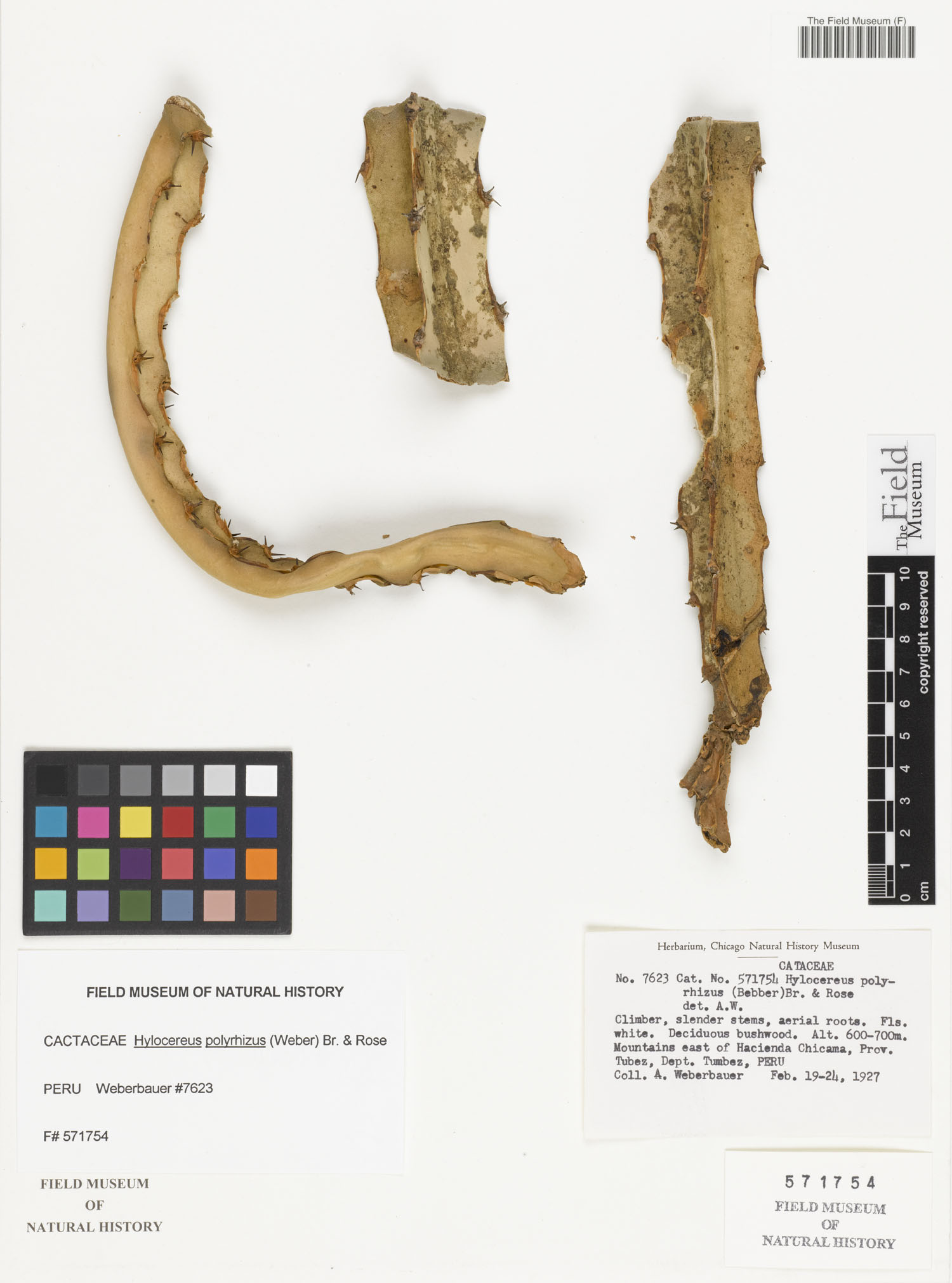 Hylocereus polyrhizus image