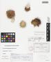 Mammillaria wrightii subsp. wilcoxii (Toumey ex K. Schum.) D. R. Hunt, U.S.A., C. G. Pringle s.n., F