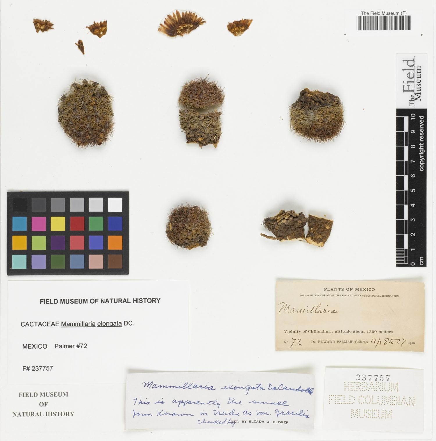 Mammillaria elongata image