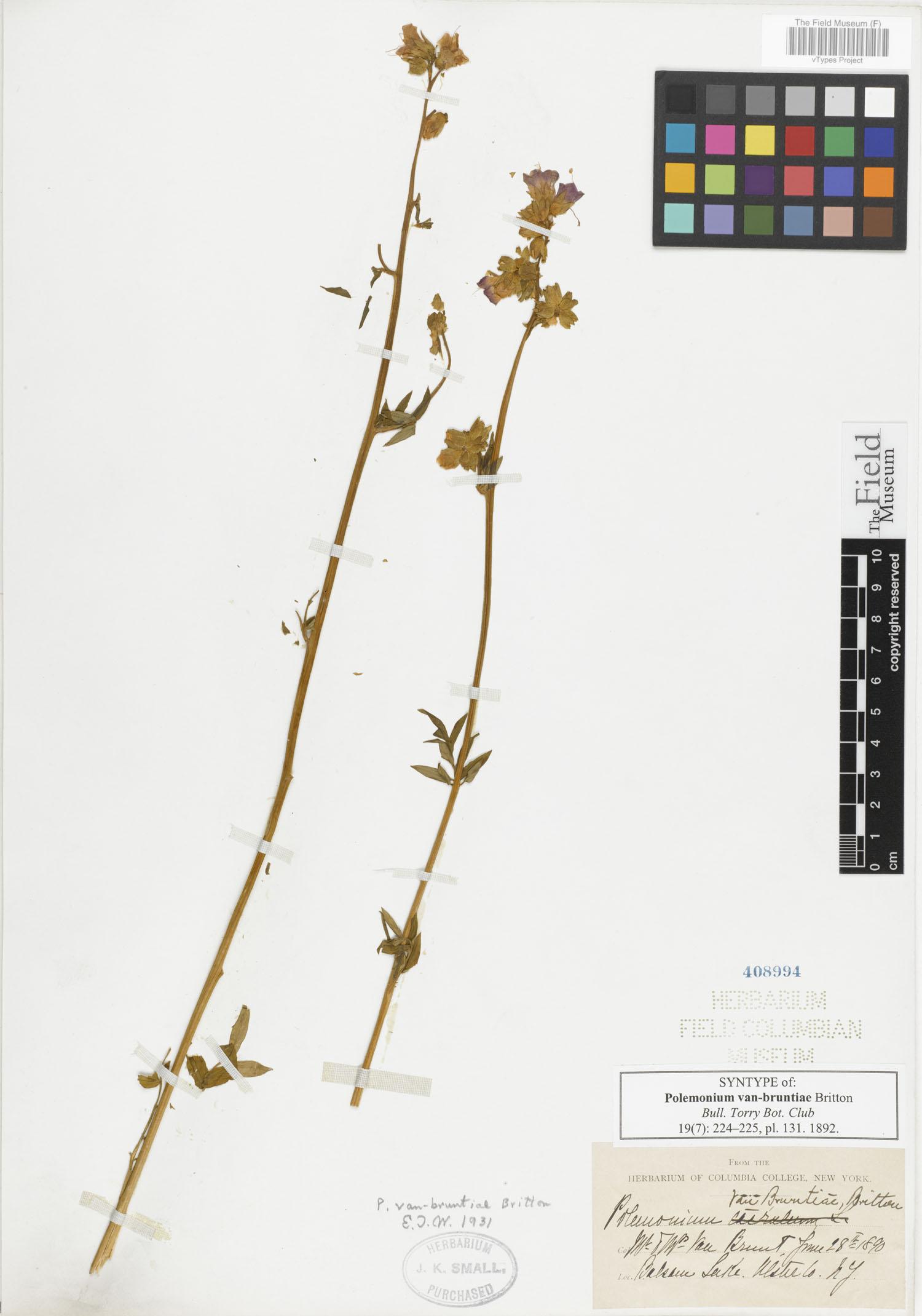 Polemonium van-bruntiae image