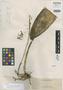 Bulbophyllum mindanaense Ames, PHILIPPINES, A. D. E. Elmer 11307, Isotype, F