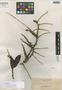 Coelogyne elmeri Ames, PHILIPPINES, A. D. E. Elmer 10694, Isotype, F
