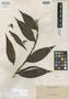 Dilochia elmeri Ames, PHILIPPINES, A. D. E. Elmer 10664, Isotype, F