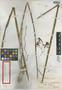 Encyclia inaguensis Nash, Bahamas, G. V. Nash 1251, Isotype, F
