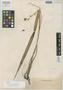 Plocoglottis bicallosum Ames, PHILIPPINES, A. D. E. Elmer 9577, Isotype, F