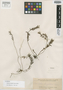 Podochilus longilabris Ames, PHILIPPINES, A. D. E. Elmer 7585, Isotype, F