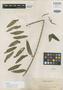 Podochilus perplexus Ames, PHILIPPINES, A. D. E. Elmer 7930, Isotype, F