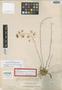 Oncidium lucayanum Nash, Bahamas, J. I. Northrop 647, Isotype, F