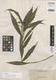 Tropidia mindanaensis Ames, PHILIPPINES, A. D. E. Elmer 11785, Isotype, F