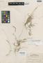Chloris clementis Merr., PHILIPPINES, M. S. Clemens 17267, Isosyntype, F