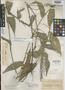 Ichnanthus areolatus K. E. Rogers, British Guiana [Guyana], A. S. Hitchcock 17562, Isotype, F