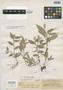 Ichnanthus confertus K. E. Rogers, British Guiana [Guyana], A. S. Hitchcock 17376, Isotype, F