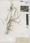 Isachne apoensis Elmer, Philippines, A. D. E. Elmer 11578, Isotype, F