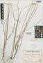 Muhlenbergia trifida image