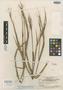 Panicum appressifolium Swallen, British Guiana [Guyana], B. Maguire 32564, Isotype, F
