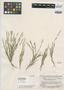Panicum spissifolium Swallen, British Guiana [Guyana], B. Maguire 23097, Isotype, F