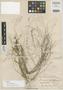 Panicum mindanaense Merr., Philippines, M. S. Clemens 99, Isotype, F