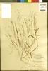 Panicum mindanaense Merr., PHILIPPINES, M. S. Clemens 99, F