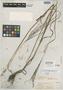 Paspalum jubatum Griseb., India, J. D. Hooker 9, Isotype, F