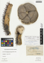Melocactus intortus (Mill.) Urb., Bahamas, P. Wilson 7557, F