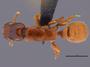 FMNHINS105979 d Metapone madagascarica