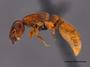 FMNHINS105979 p Metapone madagascarica