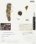 Opuntia acanthocarpa Engelm. & J. M. Bigelow, U.S.A., H. H. Rusby 622, F