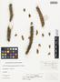 Opuntia acanthocarpa Engelm. & J. M. Bigelow, U.S.A., J. W. Toumey 17, F