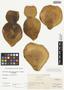 Opuntia basilaris Engelm. & J. M. Bigelow var. basilaris, U.S.A., I. F. Tidestrom 3140, F