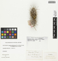 Opuntia californica var. parkeri (J. M. Coult.) Pinkava, U.S.A., W. H. Evans s.n., F