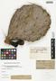 Opuntia engelmannii var. lindheimeri (Engelm.) B. D. Parfitt & Pinkava, U.S.A., B. Mackensen s.n., F