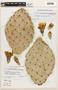 Opuntia phaeacantha var. discata (Griffiths) L. D. Benson & Walk., U.S.A., E. M. Smith 1422, F