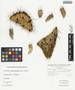 Opuntia littoralis (Engelm.) Cockerell, U.S.A., L. C. Wheeler s.n., F