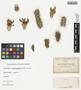 Opuntia spinosior (Engelm.) Toumey, U.S.A., C. G. Pringle s.n., F