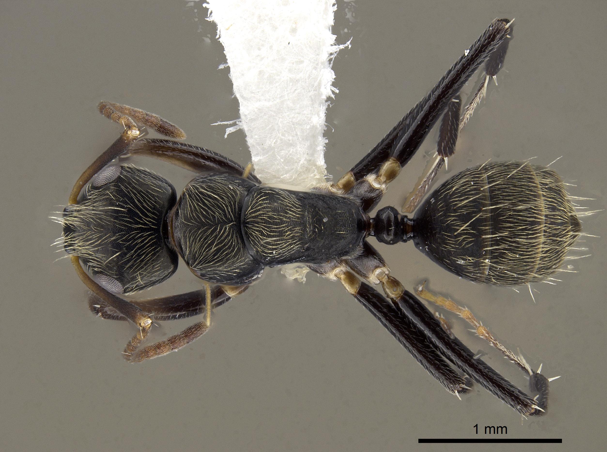 Image of Camponotus froggatti