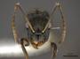 FMNHINS0000105002 h Camponotus froggatti